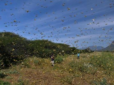 蝗虫集体发动进攻 为何会单单绕开他们